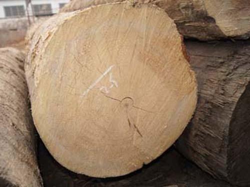加拿大-铁杉